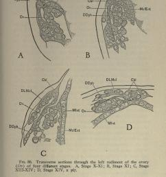 file the embryology of the honey bee page 215 bhl21526704 jpg [ 2436 x 4004 Pixel ]