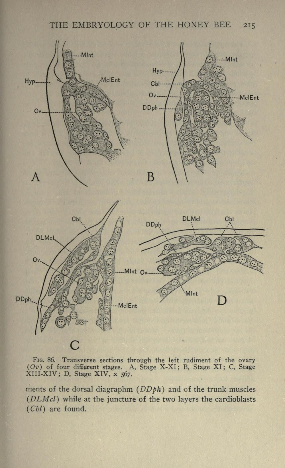 medium resolution of file the embryology of the honey bee page 215 bhl21526704 jpg