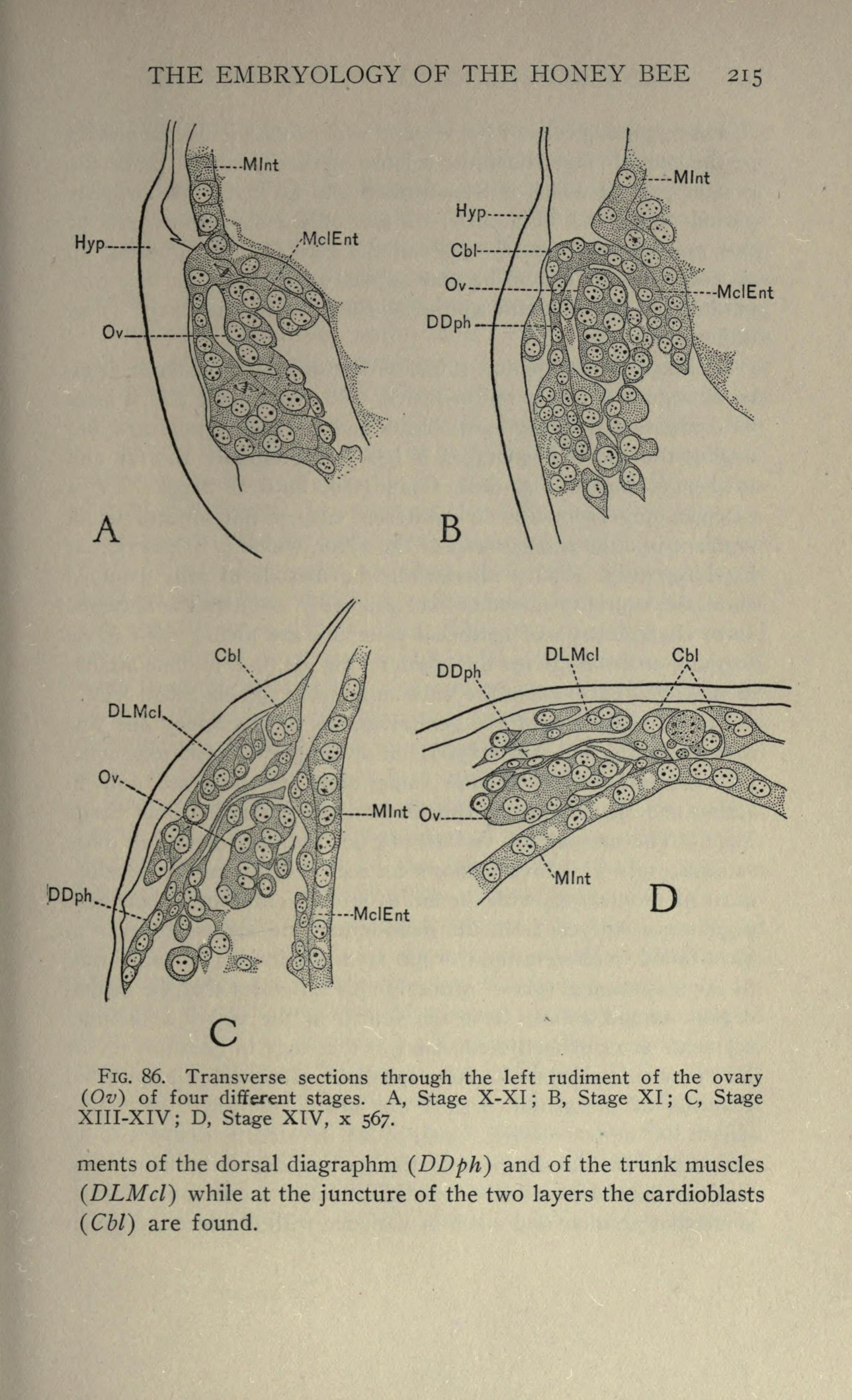 hight resolution of file the embryology of the honey bee page 215 bhl21526704 jpg