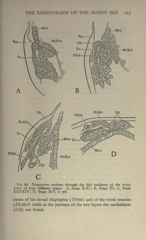 small resolution of file the embryology of the honey bee page 215 bhl21526704 jpg