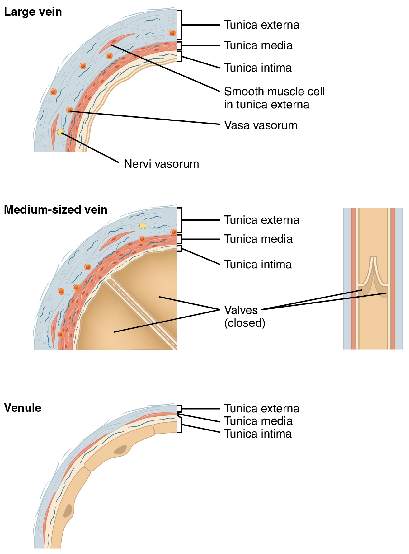 File Large Medium Vein Venule