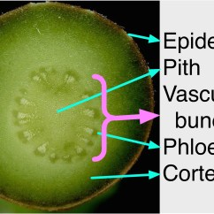 Plant Pith Diagram Cross Section How To Make An Er For Database File Crassula Ovata Vascular Bundles Labelled In