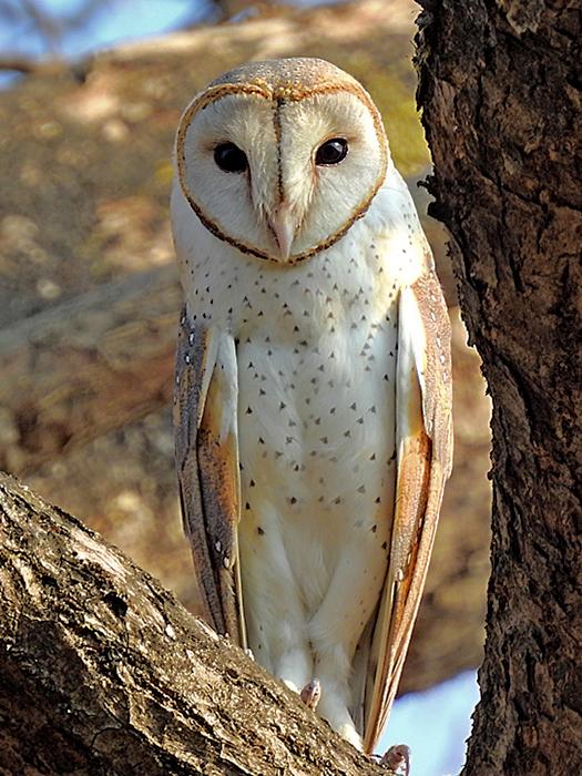Cute Barn Tyto Owl Wallpaper File Eastern Barn Owl Tyto Javanica Stertens Raigad