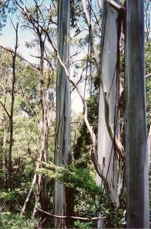 Eucalyptus Nitens Wikipedia