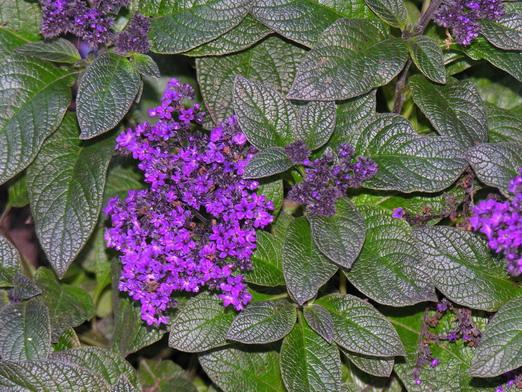 File:Heliotropium peruvianum.jpg
