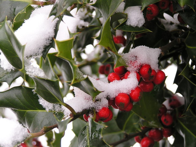 File:Holly Berries in Snow - geograph.org.uk - 136731.jpg