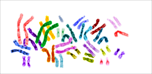 Colored picture of the human karyotype (all 23 chromosomes)