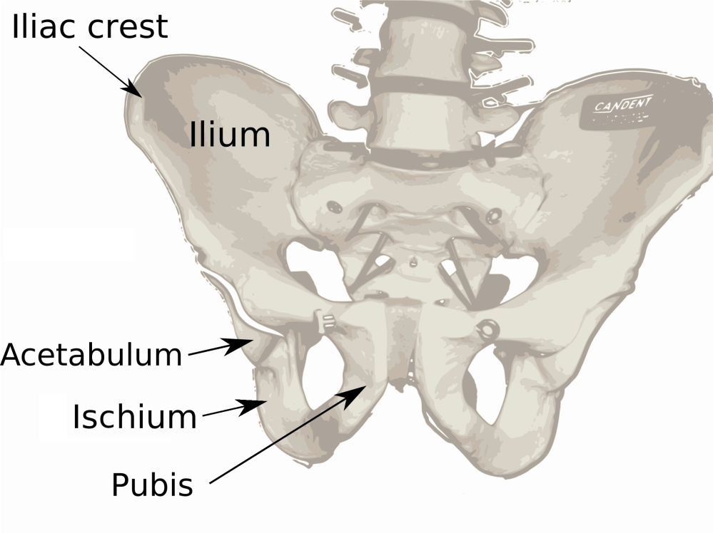 medium resolution of ilium bone