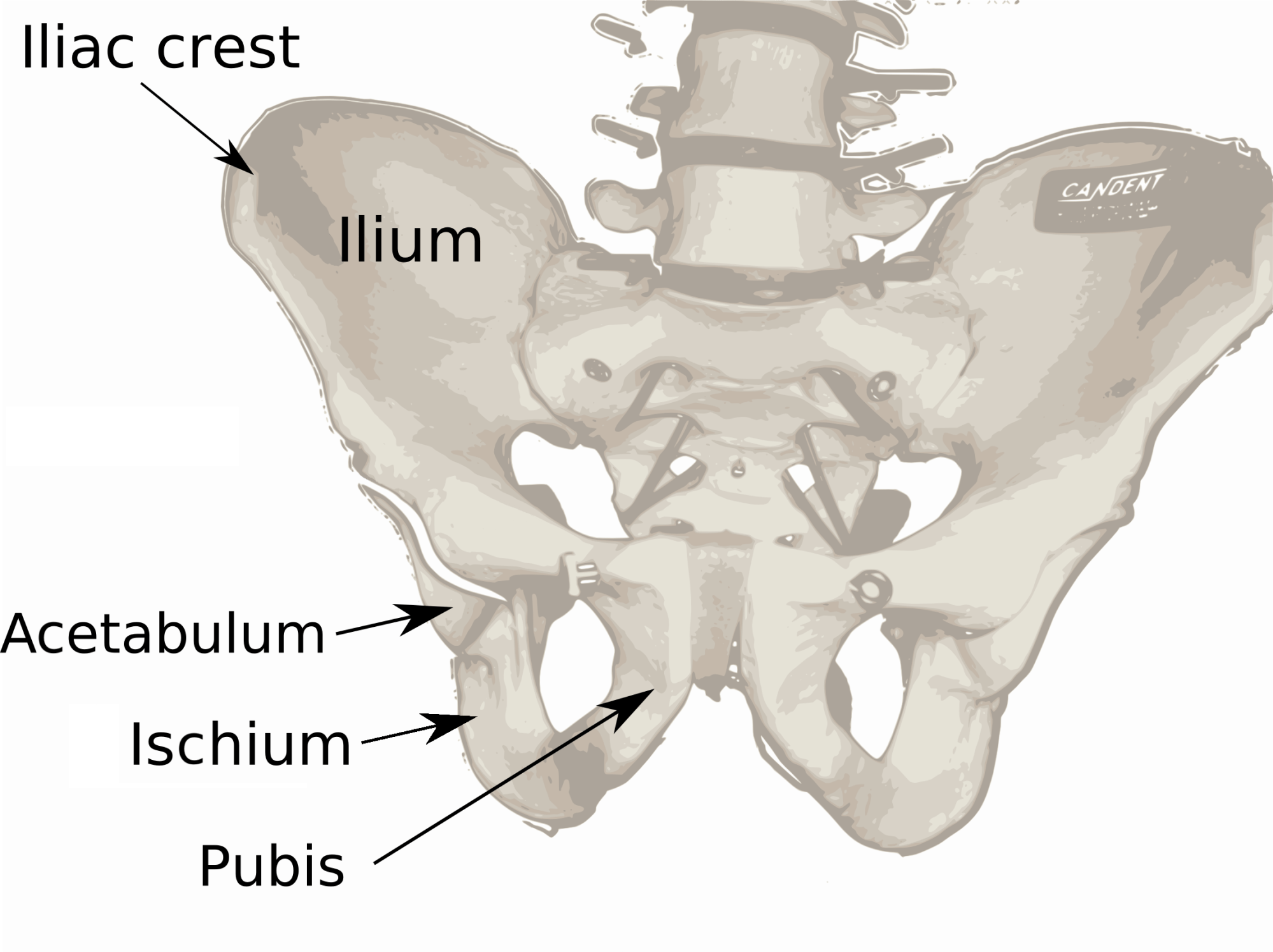 hight resolution of ilium bone