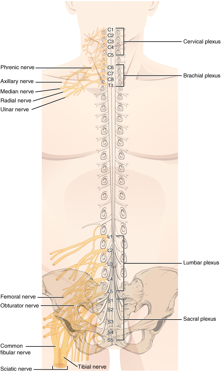 hight resolution of diagram of spinal nerve system
