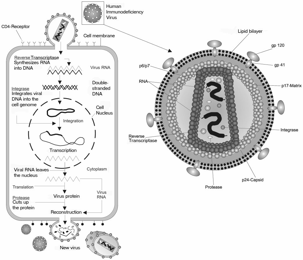 hight resolution of viru cell diagram