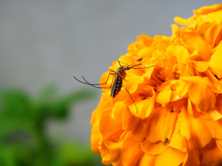 Image result for mosquito on flower