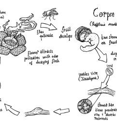 file rafflesia arnoldii cycle jpg [ 1188 x 792 Pixel ]