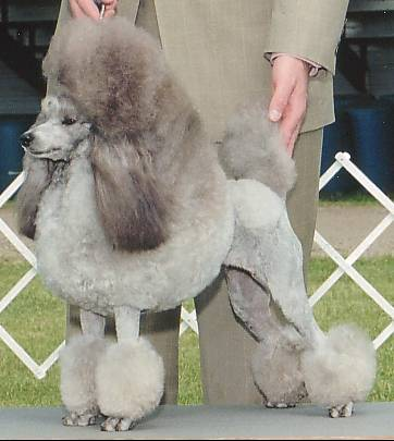 File:Silver Miniature Poodle stacked.jpg