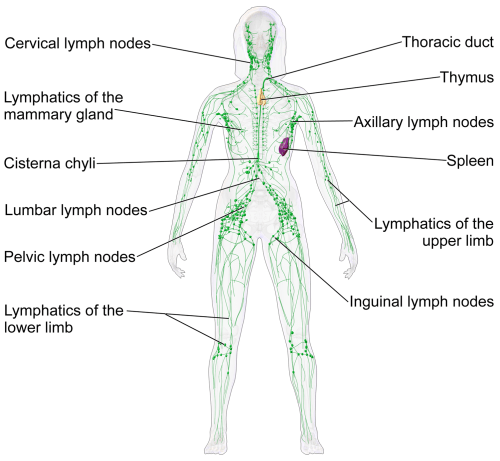 small resolution of lymphatic system