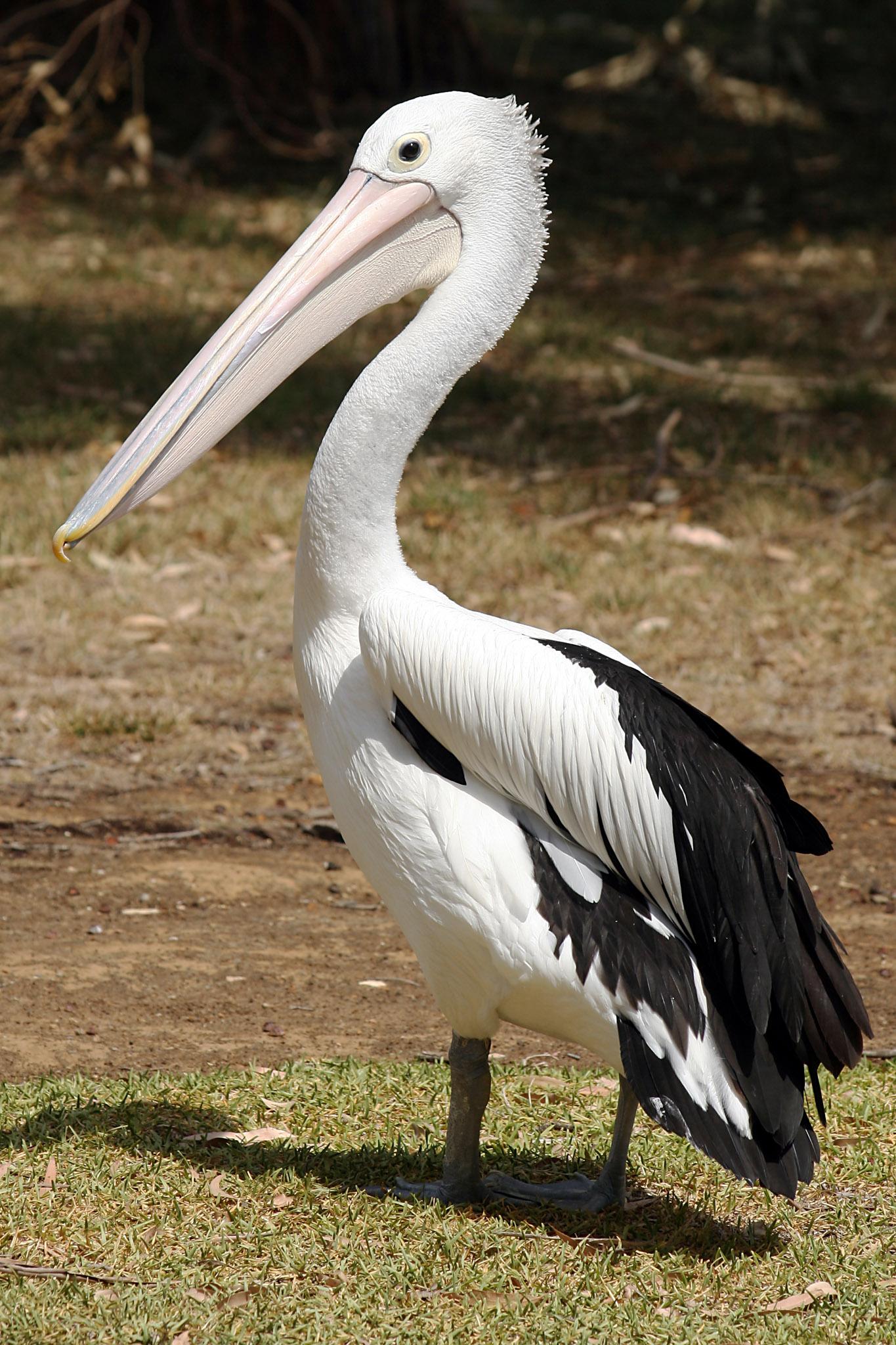 Pelikan till husdjurvill ha tryggheten