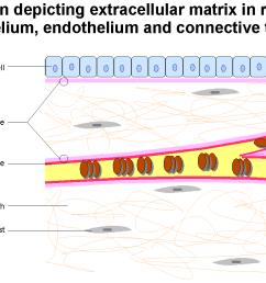 connective tissue diagram [ 1262 x 845 Pixel ]