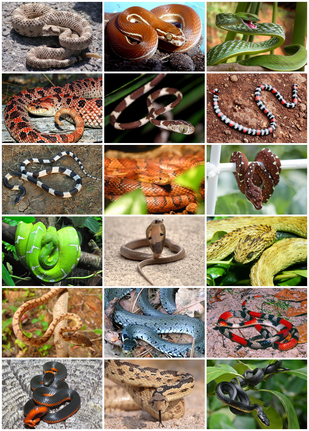 L'animal Le Plus Dangereux Du Monde : l'animal, dangereux, monde, Serpentes, Wikipédia