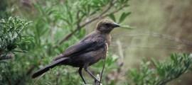 COWBIRD – Birds for Kids