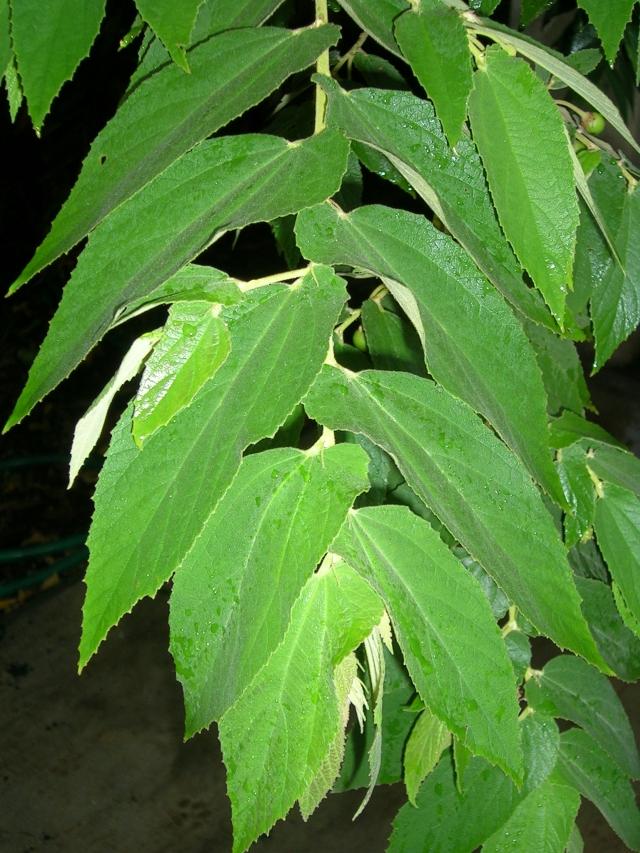 Muntingia calabura Jamaican cherry Strawberrytree