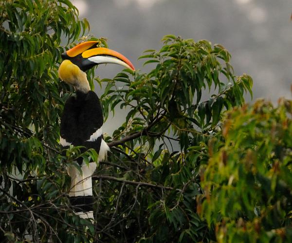 File:Great-Hornbill.jpg