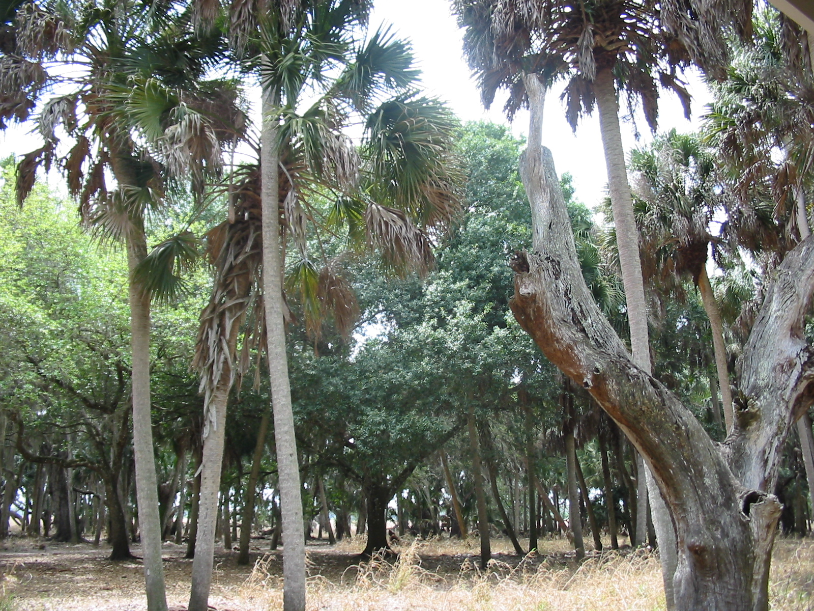 File Hammock Forest Floor Inside Florida S Myakka State