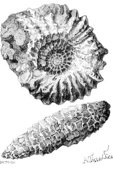 File:LaNature1874-132-AmmoniteEtPommeDePinFossile.png