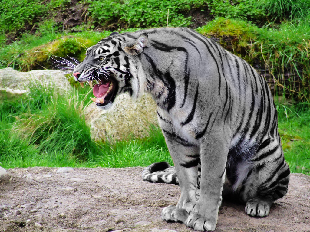 Maltese Tiger Tiger Pitbull Dog