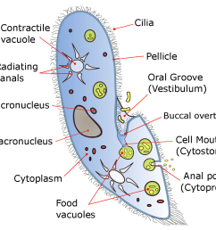 diagram of the ciliate paramecium [ 1218 x 1075 Pixel ]