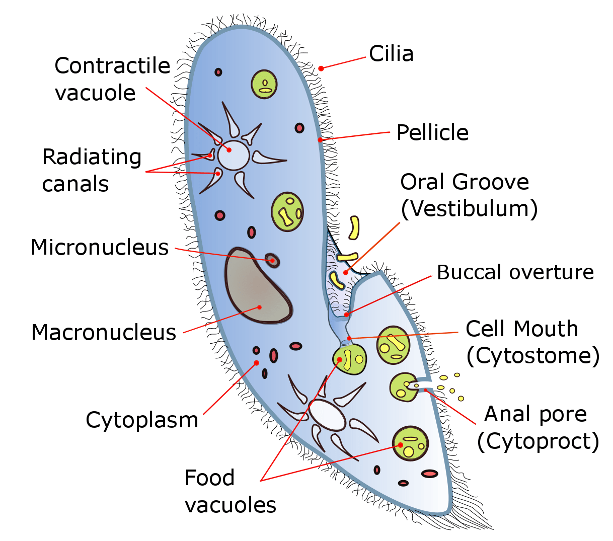 hight resolution of diagram of the ciliate paramecium