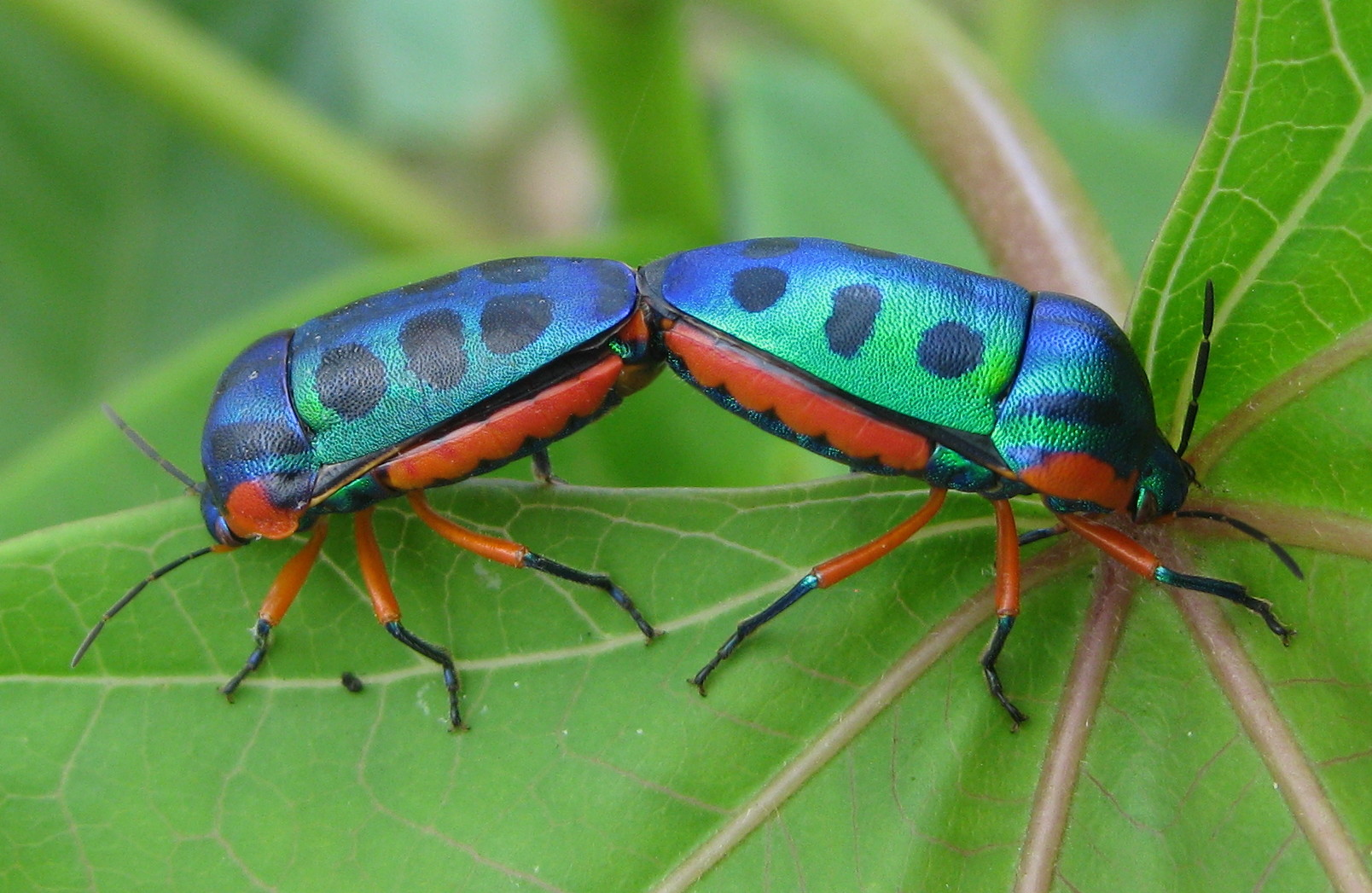 Filerainbow Shield Bugs On Jatropha (5412717309)jpg