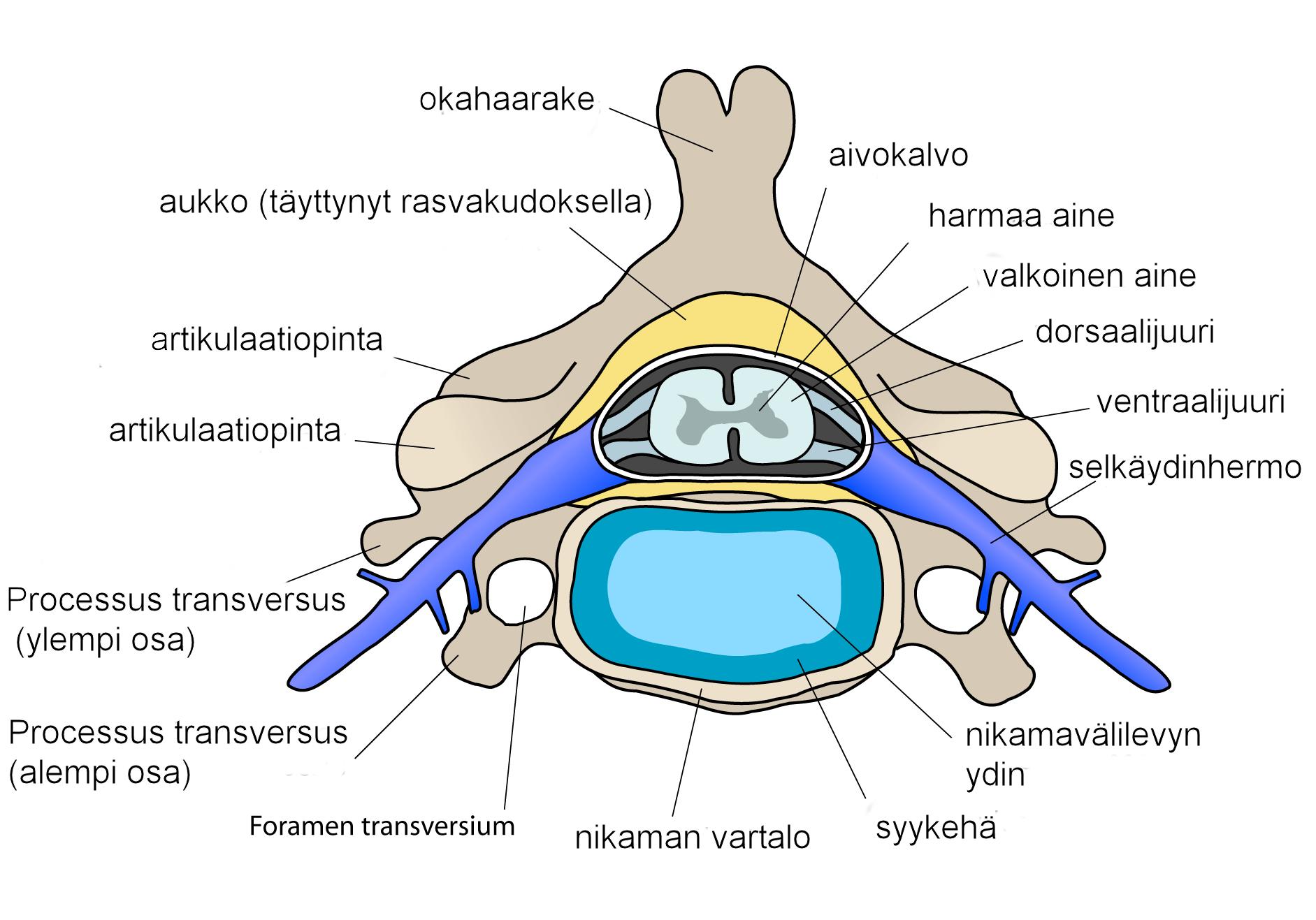 vertebrae diagram blank 1995 ford ranger wiring file cervical vertebra finnish png wikimedia commons