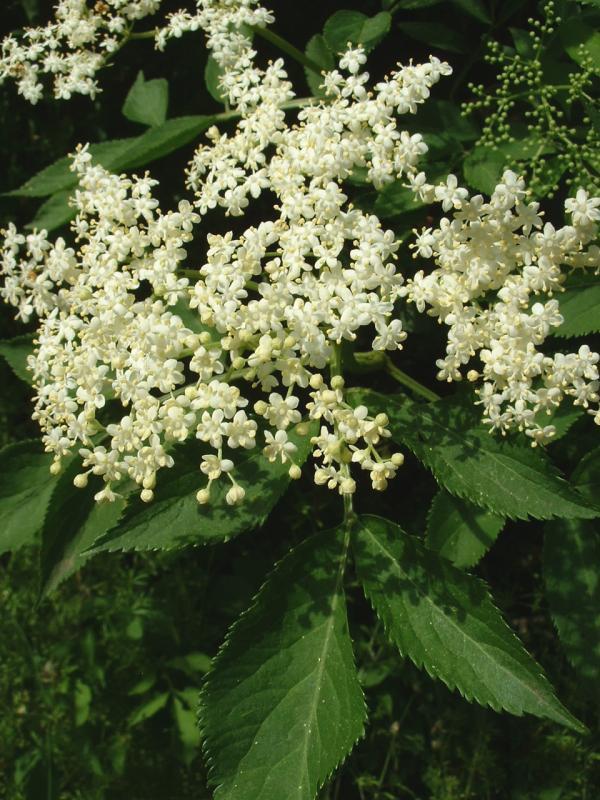Fleur de sureau noir