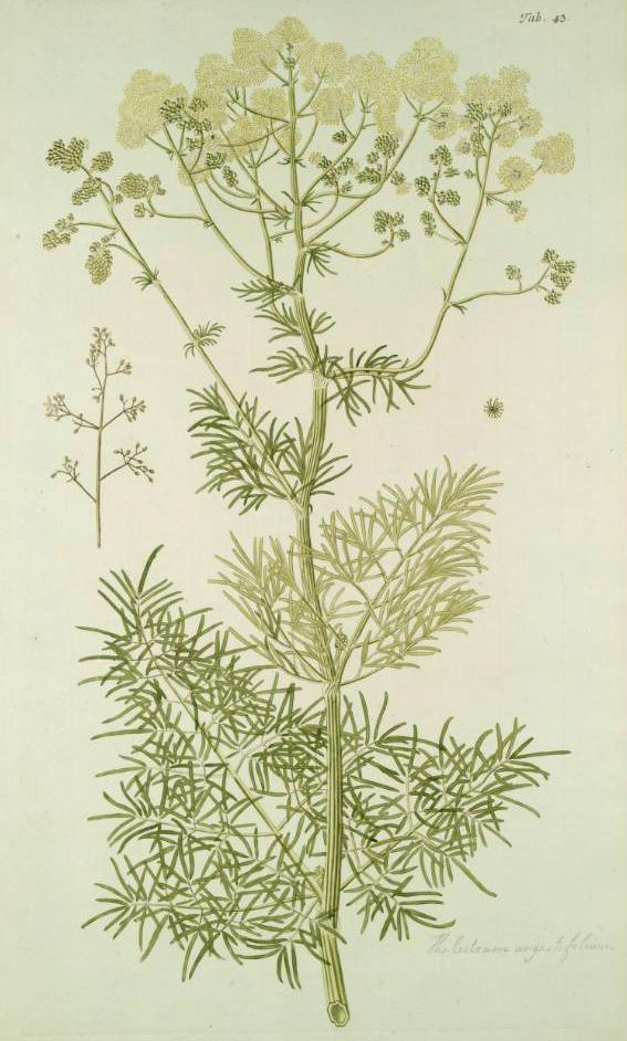 Thalictrum lucidum  Wikipedia