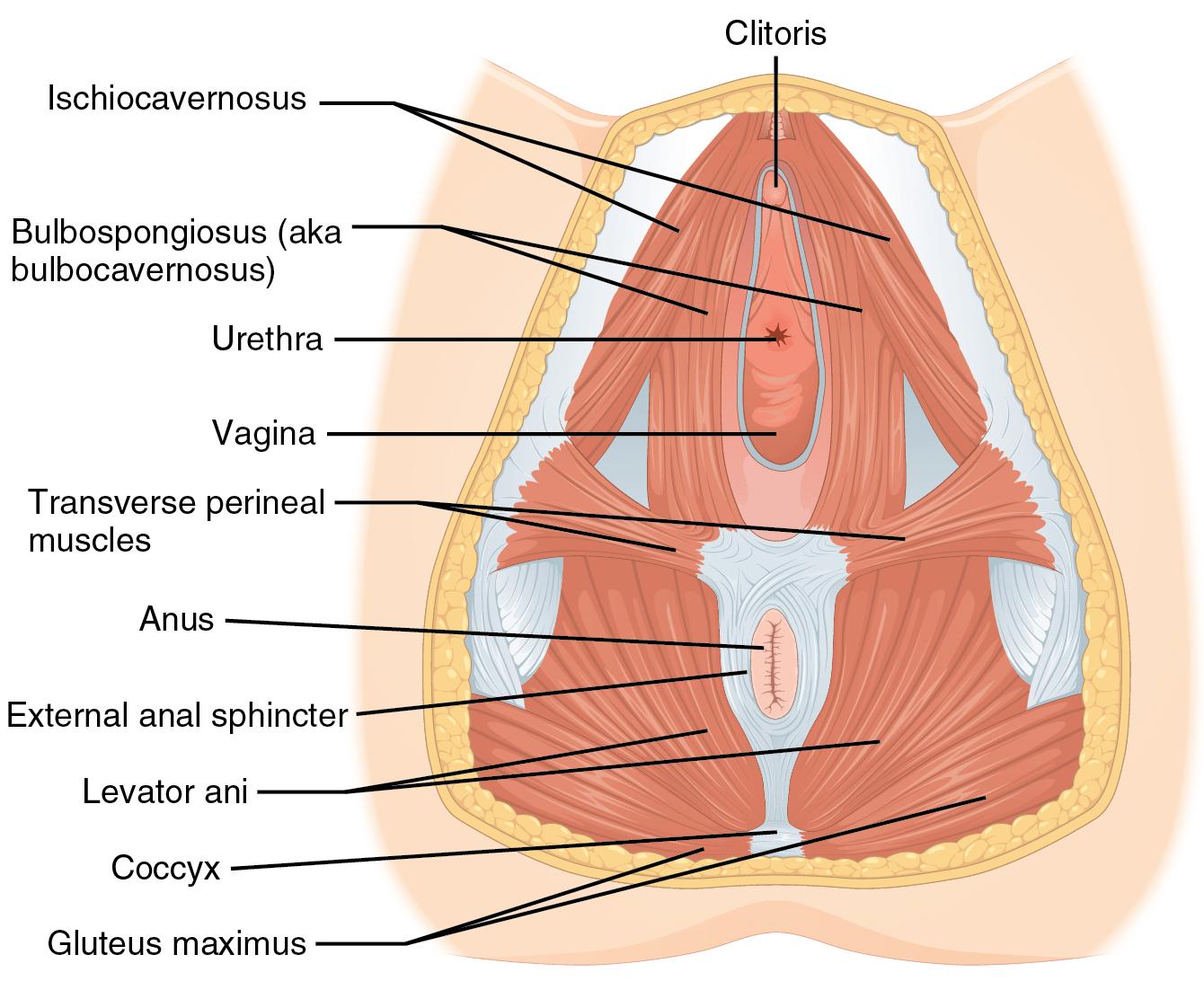 hight resolution of urethra diagram