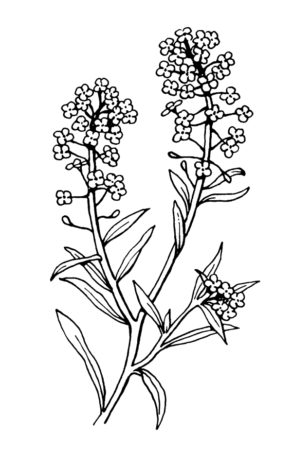 file alyssum 2 psf - wikimedia