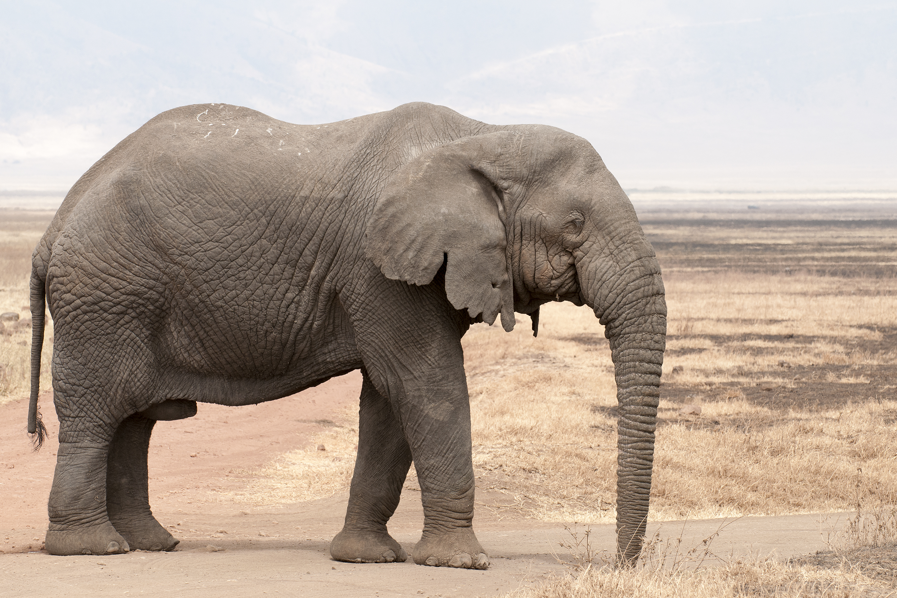 african elephant wikipedia