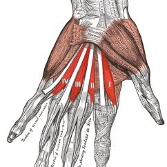 Hand Nerves Diagram Honeywell Pir Sensor Wiring Lumbricals Of The Wikipedia