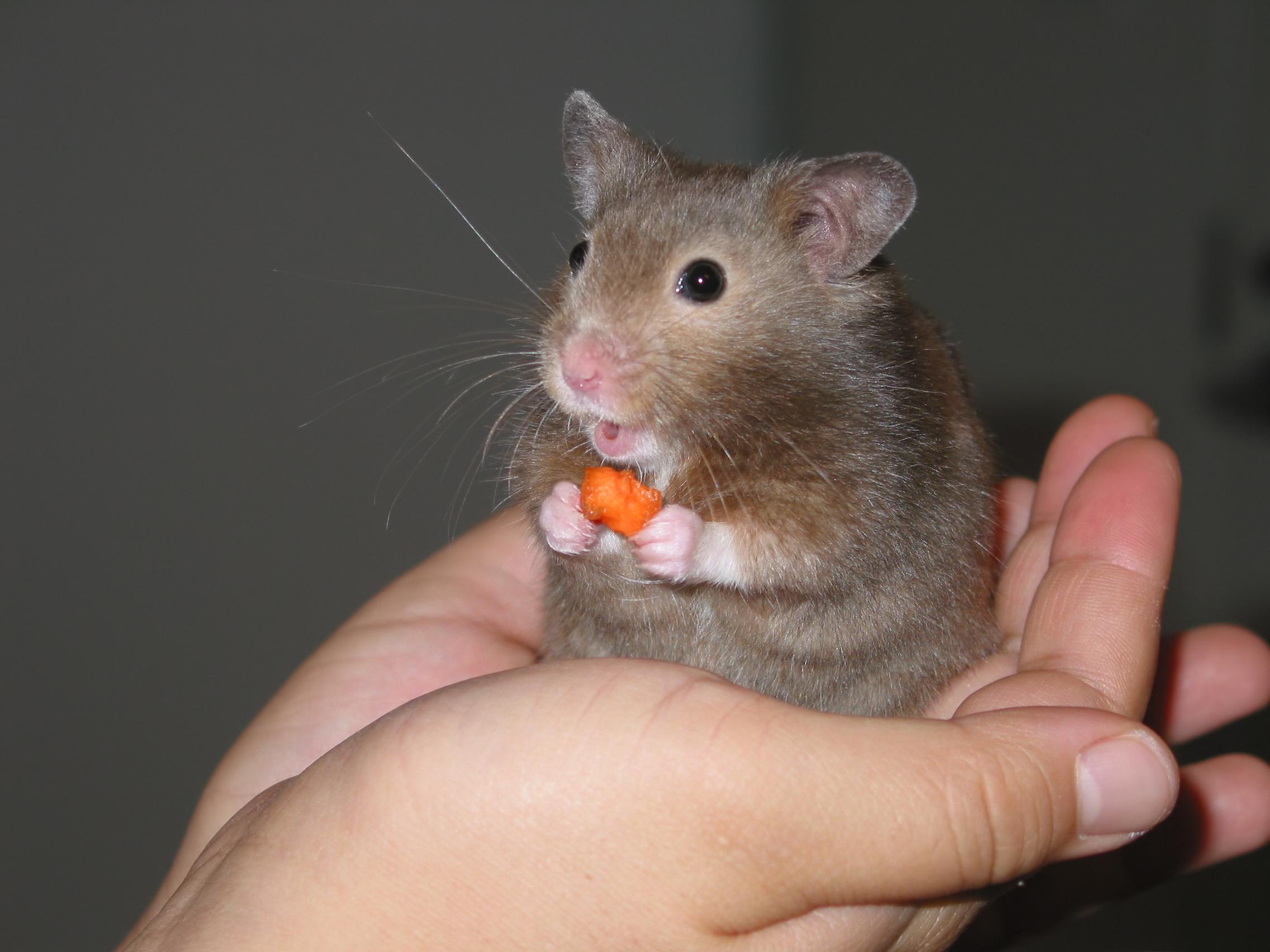 File:Hamster in hand.jpg