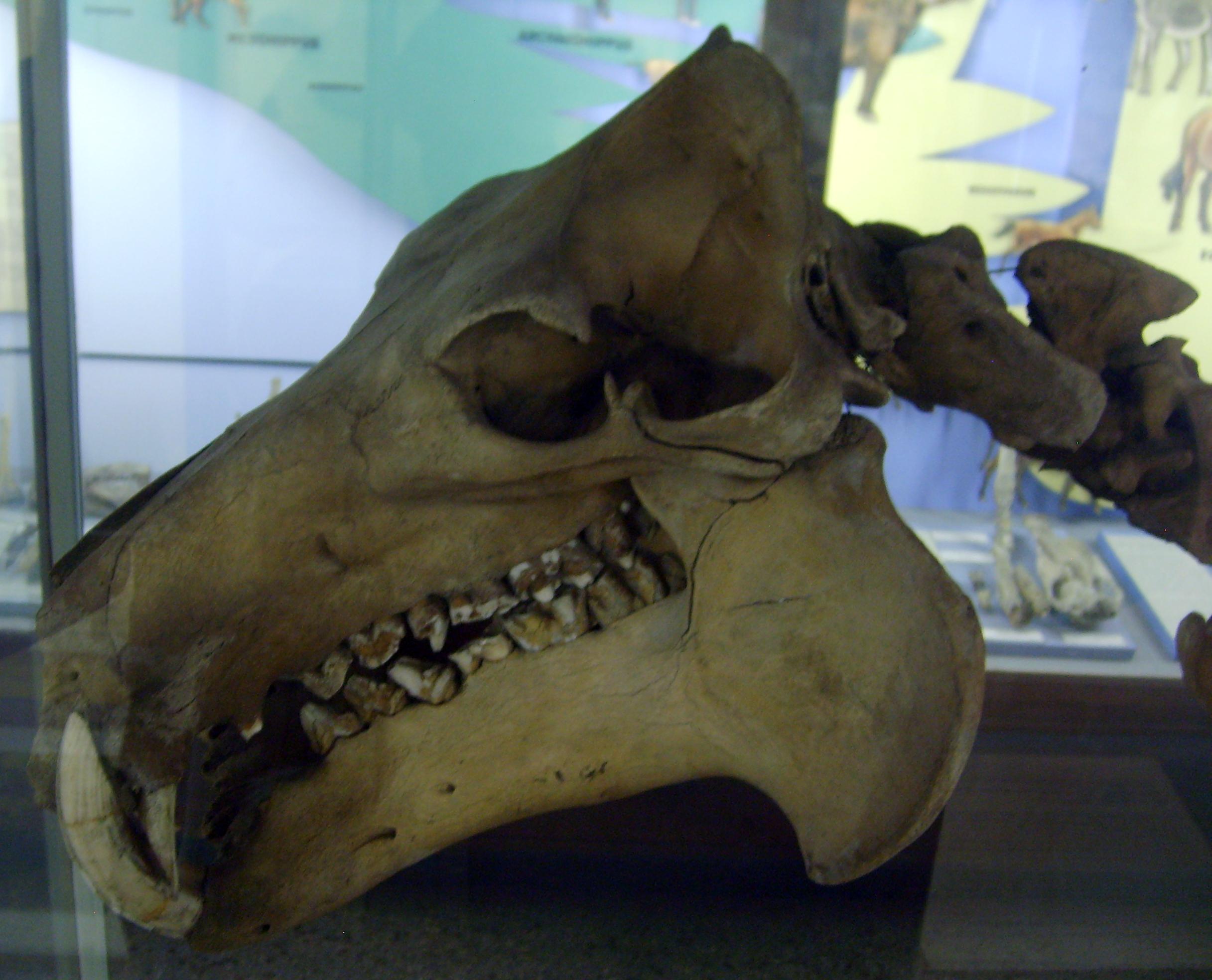 Individual Hippopotamuses
