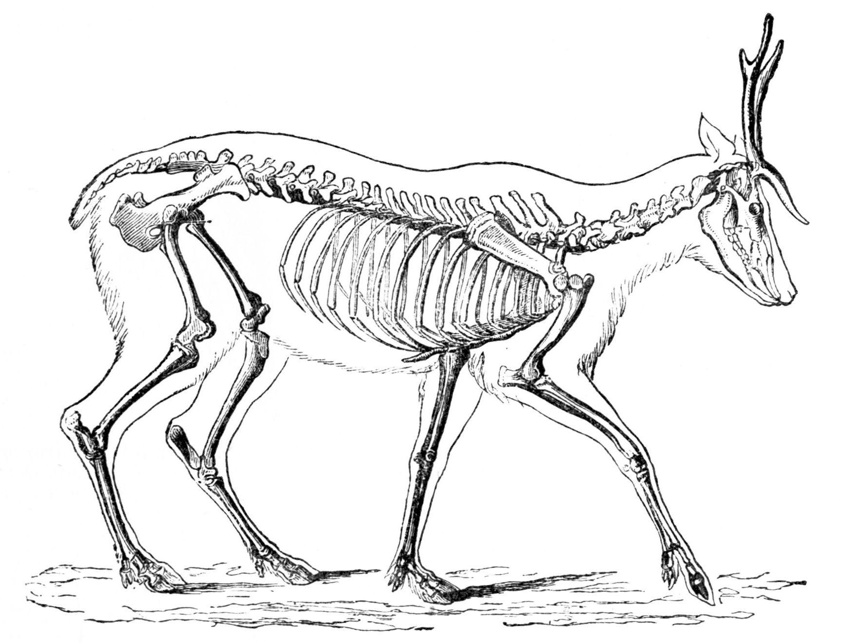 File Psm V04 D549 Skeleton Of The Deer