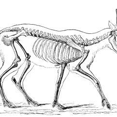 Diagram Of Whitetail Deer Skull Rj45 Wire Goat Muscle Pig Organs Elsavadorla