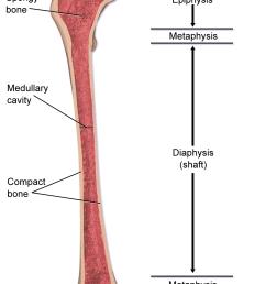 spongy bone diagram [ 1000 x 1500 Pixel ]