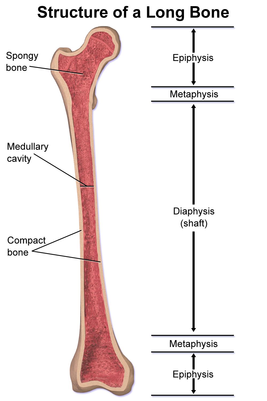 medium resolution of spongy bone diagram