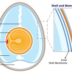 Avian Anatomy Diagram Labeled Visio Wiring Egg Get Free Image About