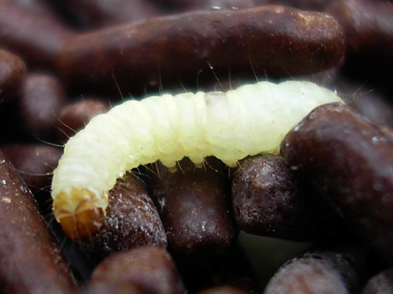 Wikipedia - Pantry Moth Larvae