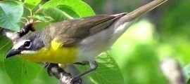 YELLOW-BREASTED CHAT – Birds for Kids
