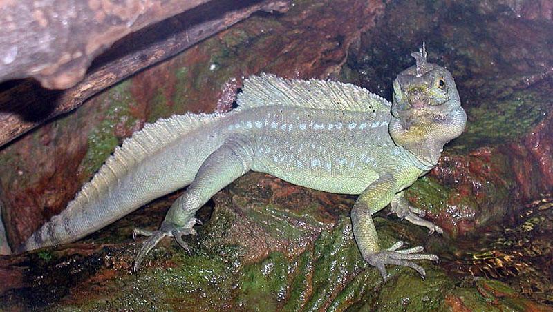 Basiliscus  Wikipedia la enciclopedia libre