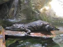 File Jeunes Crocodile Du Nil Aquarium Porte Dor Paris2