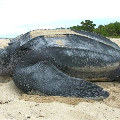 Leatherback Sea Turtle Food Web Diagram Pontiac G8 Radio Wiring Wikipedia
